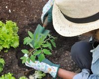 Woman planting tomato Stock Image