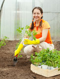 Woman planting tomato seedling Royalty Free Stock Photography