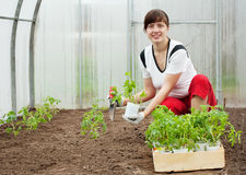 Woman planting tomato seedling Stock Images