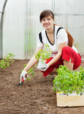 Woman planting tomato spouts Royalty Free Stock Photography