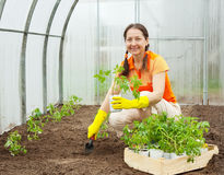 Woman planting tomato spouts Royalty Free Stock Image