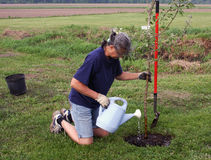 Woman planting a tree. Woman planting and watering an apple tree Stock Images