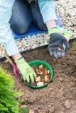 Woman planting tulip bulbs Royalty Free Stock Photography