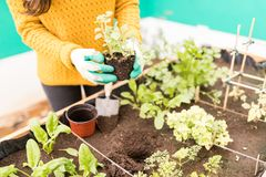 Woman Planting In Urban Garden. Midsection of young woman starting an organic vegetable garden stock images