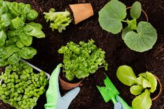 Free Woman Planting Young Seedlings Of Lettuce Salad In The Vegetable Garden Stock Image - 190037041