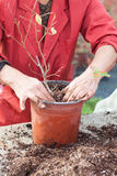 Woman planting young tree into a pot Stock Photo