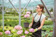 Woman with plants in the greenhouse royalty free stock photo