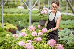 Woman with plants in the greenhouse stock photos