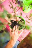 A woman plants a houseplant in a pot. Young bonsai tree top view. Replanting a flower in a new pot. The girl puts her hands on the royalty free stock images