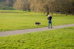 Woman playing fetch the ball with her border collie dog in the park. Woman playing fetch the ball with her border collie dog in the park royalty free stock photography