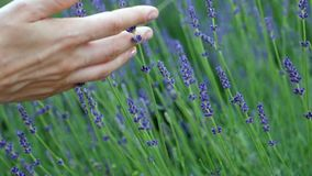 Woman playing with the hand in lavender. Closeup woman hand playing with lavender