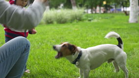 Woman playing with her dog in the park. Female train her Jack Russell in the park on green grass. Dog executes the commands stock video footage