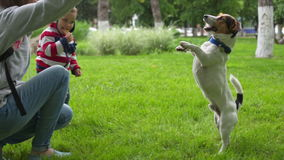 Woman playing with her dog in the park. Female train her Jack Russell in the park on green grass. Dog executes the commands stock video