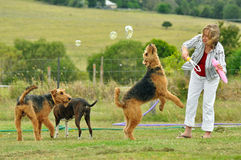 Woman playing with her large pet Airedale Terrier dogs outdoors Royalty Free Stock Photos