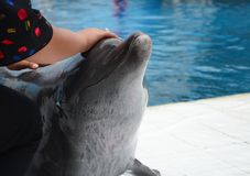 Dolphins on creative entertaining show. A woman playing with a smart dolphin at a park in Thailand Royalty Free Stock Images