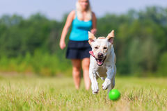 Woman plays with a dog on the meadow. Woman plays with a labrador dog on the meadow Stock Photo