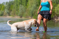 Woman plays with her labrador retriever in a lake Stock Image