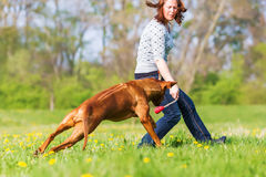 Woman plays with a Rhodesian ridgeback on the meadow. Woman plays with a Rhodesian ridgeback dog on the meadow Royalty Free Stock Photo