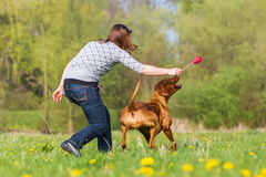 Woman plays with a Rhodesian ridgeback on the meadow. Woman plays with a Rhodesian ridgeback dog on the meadow Stock Image