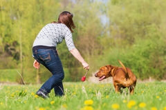 Woman plays with a Rhodesian ridgeback on the meadow. Woman plays with a Rhodesian ridgeback dog on the meadow Stock Photos