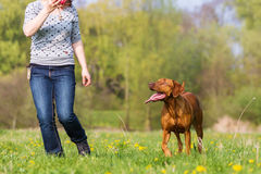 Woman plays with a Rhodesian ridgeback on the meadow. Woman plays with a Rhodesian ridgeback dog on the meadow Royalty Free Stock Photography