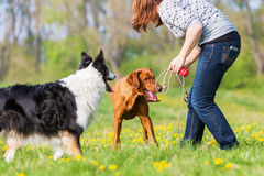 Woman plays with two dogs on the meadow. Woman plays with a Border Collie and a Rhodesian ridgeback on the meadow Stock Photo