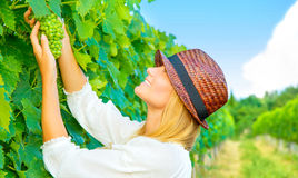 Woman pluck grape Stock Photos