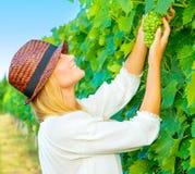 Woman pluck grape Stock Image
