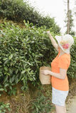 Woman plucking tea leaves Stock Photography