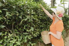 Woman plucking tea leaves Stock Images