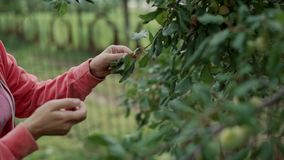 A woman plucks a plum from a tree. A woman plucks a plum from a tree HD stock footage