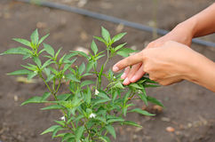 Woman pointing finger to a Young chili tree Stock Images