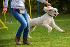 Woman and poodle on an agility course Stock Photography