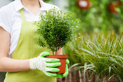 Woman with potted plant. Cropped image of woman in uniform holding a potted plant while standing in a greenhouse Royalty Free Stock Images