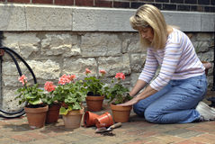Woman Potting Flowers. Woman potting pink geraniums in clay pots for the garden Stock Images