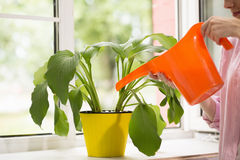 Woman pouring plant with water can. Stock Photography