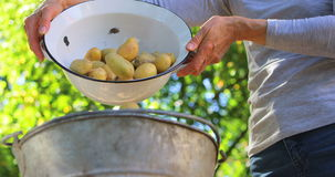 Woman pouring potatoes in bucket. In the garden stock footage