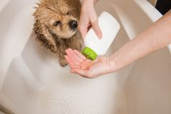 Woman is pouring shampoo on his hand. Spaniel is taking a shower stock photos