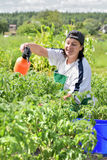 Woman pours green tomatoes Royalty Free Stock Images
