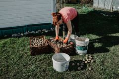 A woman prepares organic potatoes being planted in the garden in. Spring. Organic farming Royalty Free Stock Image