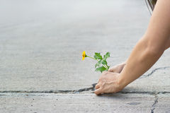 Woman protect a little yellow flower growing on cracks street. Environment concept Royalty Free Stock Photo