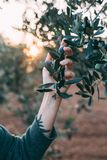 Woman in provence garden with olive trees. Female arm and hand with hipster artisan tattoos holds tenderly branch of olive tree, concept farm life in french royalty free stock photography
