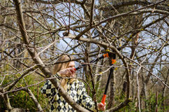 Woman pruned old tree with shears in early spring Stock Photos