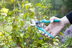 Woman pruning Royalty Free Stock Images