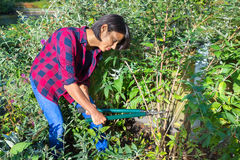 Woman pruning buddleja shrub with lopping shears. In garden Royalty Free Stock Image