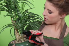 Woman pruning a houseplant Royalty Free Stock Photo