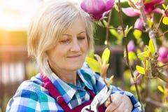 Woman pruning magnolia tree Stock Image