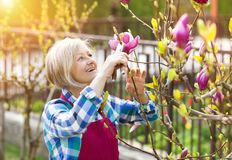 Woman pruning magnolia tree Royalty Free Stock Photos