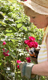 Woman pruning roses Royalty Free Stock Photos
