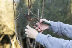 Woman pruning the tree stock images